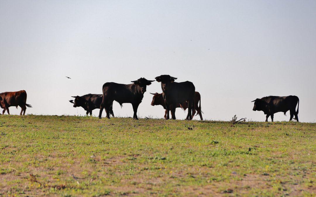 El Campo à la ganaderia Michel Barcelo